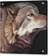 Virginia The Wolf Acrylic Print