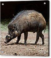 Visayan Warty Pig Acrylic Print
