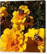 Visiting Bees Acrylic Print