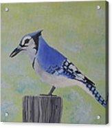 Visiting Bluejay Acrylic Print