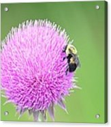 Visitor On Thistle Acrylic Print