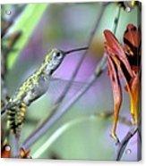 Vitality Of A Hummingbird Acrylic Print