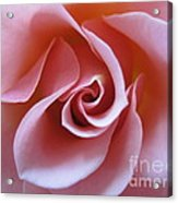 Vivacious Pink Rose 3 Acrylic Print
