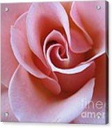 Vivacious Pink Rose 4 Acrylic Print