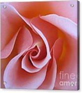 Vivacious Pink Rose Acrylic Print