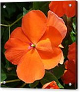 Vivid Orange Vermillion Impatiens Flower Acrylic Print
