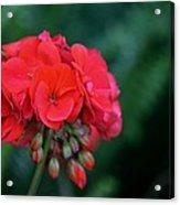 Vividly Red Geranium Acrylic Print