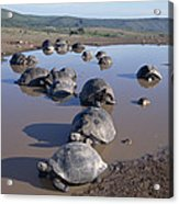 Volcan Alcedo Giant Tortoise Wallowing Acrylic Print