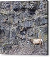 Volcanic Formation And Elk Acrylic Print