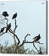 Vulture Club Acrylic Print