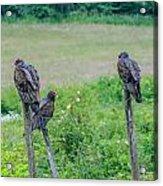 Vulture Fence Line 3 Acrylic Print