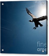 Vulture Flying In Front Of The Sun Acrylic Print