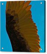 Vulture In Flight Acrylic Print