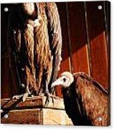Vulture Male Acrylic Print