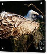 Vulture Resting In The Sun Acrylic Print