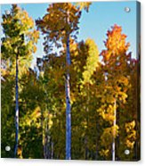 Aspens In Vertical Acrylic Print
