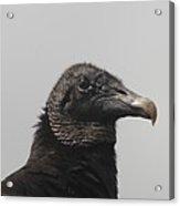 Wachtful Vulture  Acrylic Print