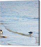 Waders Walking The Beach. Acrylic Print