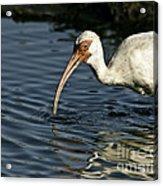 Wading Ibis Acrylic Print