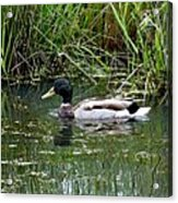 Wading Mallard Duck  Acrylic Print by Lizbeth Bostrom
