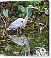Wading Reflection Acrylic Print