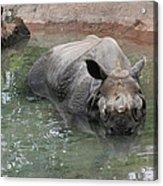 Wading Rhinos Acrylic Print