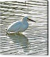 Wading Snowy Egret Acrylic Print