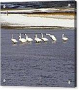 Wading Swans 2 Acrylic Print
