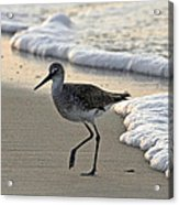 Wading Willet Acrylic Print