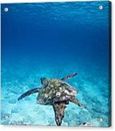 Turtle Soar Acrylic Print