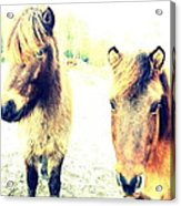 Eager Horses Waiting For Their Simple Dinner Acrylic Print