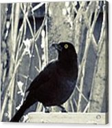 Waiting Grackle Acrylic Print