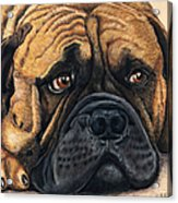 Waiting Bullmastiff Drawing Acrylic Print by Michelle Wrighton
