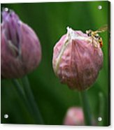 Waiting On Chive Acrylic Print