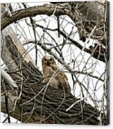 Waiting Owlet Acrylic Print by Rebecca Adams