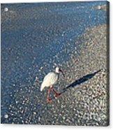 Walk Like An Ibis Acrylic Print
