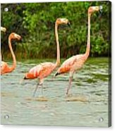 Walking Flamingos Acrylic Print