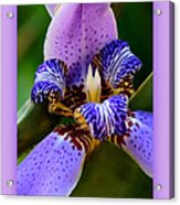 Walking Iris With Purple Border Acrylic Print