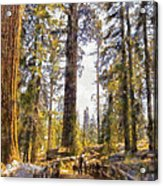 Walking Small In The Tall Forest Acrylic Print