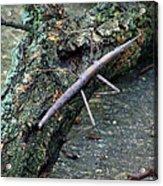 Walking Stick Acrylic Print