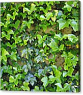 Wall Of Ivy Acrylic Print