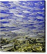Wall Of Silver Fish Acrylic Print