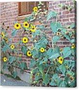 Wall Of Sunflowers 1 Acrylic Print