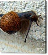 Wall Snail 1 Acrylic Print