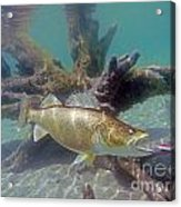 Walleye Pike And Dardevle Acrylic Print