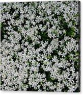 Wallflowers 2  Acrylic Print