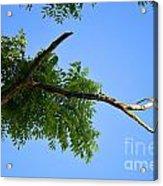 Walnut In The Sky Acrylic Print