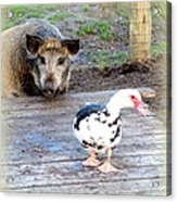 The Pig Want To Be Your Friend, Mr Duck  Acrylic Print
