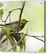 Warbler - Black-throated Green  Acrylic Print