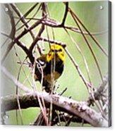 Warbler - Black-throated Green Warbler Acrylic Print